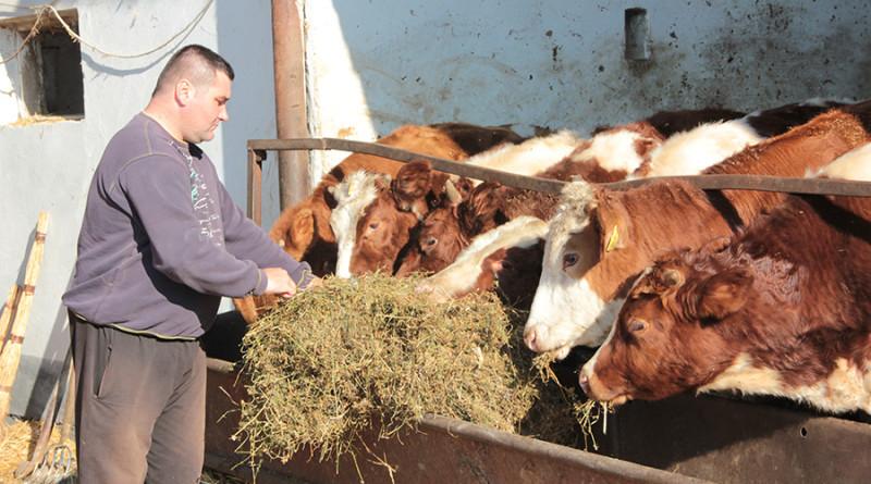 00 zd  kumane stocar farmer krave stala slama19