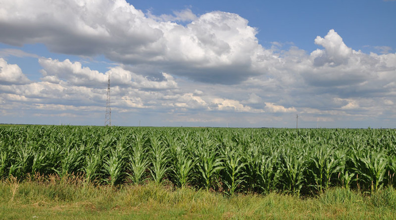 Predstavljeni zemunski hibridi kukuruza