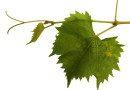 KLUB VINA I KULTURNI CENTAR: Tribina o proizvodnji kalemova vinove loze