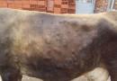 """Mere za suzbijanje bolesti krava """"nodularni dermatitis"""""""