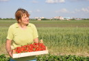 U OKOLINI ZRENJANINA: Počela berba jagoda