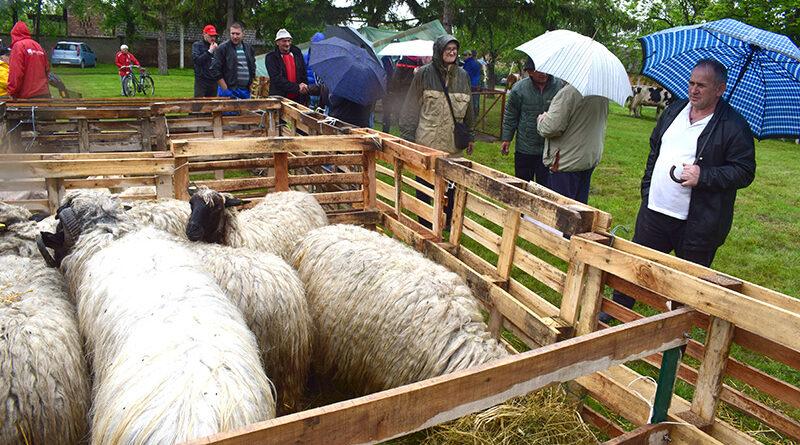 REGIONALNA IZLOŽBA OVACA I GOVEDA U TOMAŠEVCU: Smena generacija u stočarstvu